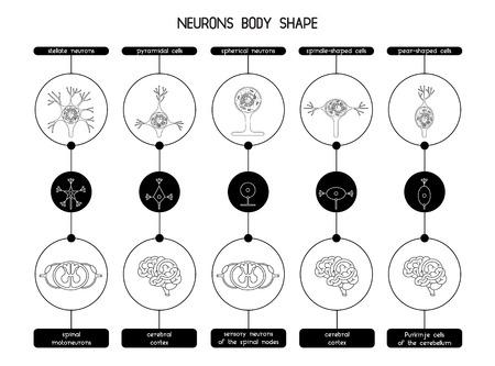 Las Neuronas Del Cerebro Y La Médula Espinal. La Biología Celular De ...