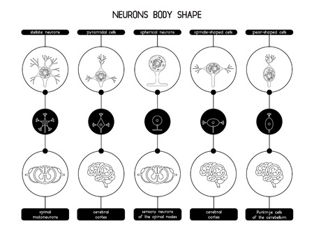 cns: The neurons of the brain and spinal cord. Neuron cell biology. Neuron cell body shape. Vector illustration of axon cell structure. Illustration