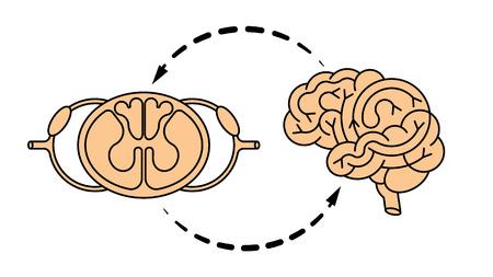 sistema nervioso central: cerebral aislada del vector y la médula espinal. Sistema nervioso central. Vectores