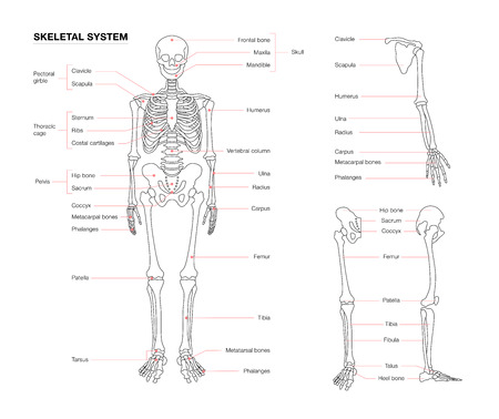 human skeleton system outline isolated on white background Illustration
