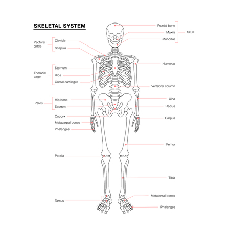 human skeleton system outline isolated on white background Stock Vector - 124629477