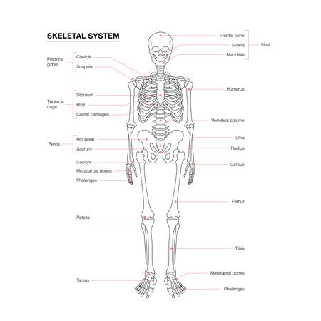 schema del sistema scheletro umano isolato su sfondo bianco Vettoriali