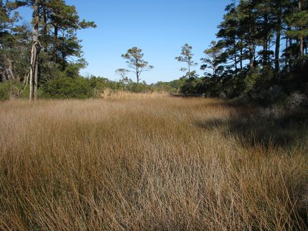 wooded: Marsh grass in lightly wooded area