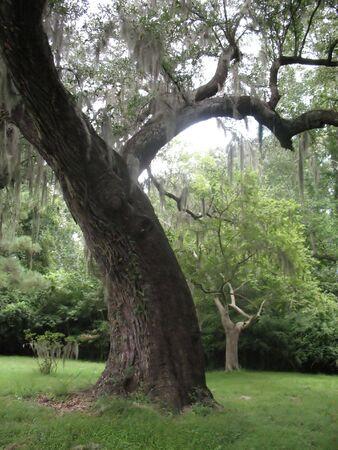 Spanish moss in Charleston tree