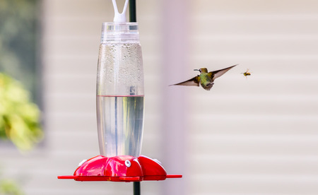 ruby throated: Hummingbird & bee together at the feeder