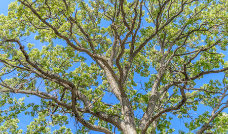 majestic: The detailed branches of a majestic oak tree looking up from near the trunk