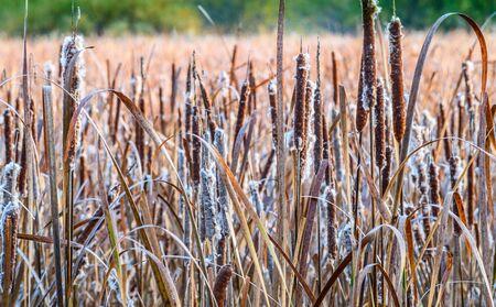 deatil: A deatil of cattails in a larger marsh