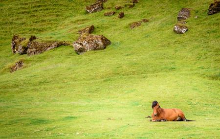 icelandic: Icelandic horse near the Rutshellir Cave Area in Iceland