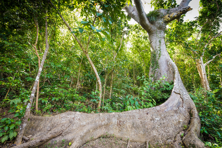 epiphyte: The old root system of a tropical tree Stock Photo