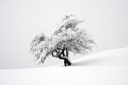 Nice contrast with Small isolated tree covered with snow on a slope with foggy background photo