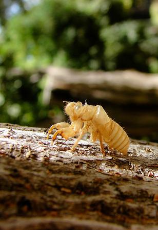 Keratin remaining after cicada metamorphoses on the bark of a tree