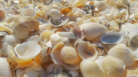 A lot of sea shells in the sunlight on the shore of the sea with nice sunlight and details Banco de Imagens