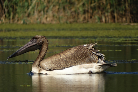 Young brown pelican on the water with vegetation and reeds on background