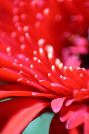 A macro shot of a red gerbera daisy. photo