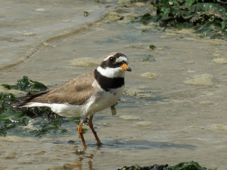 ringed: A ringed plover looking for food in the wash of the sea.