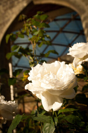 crosshatched: A macro of a white rose in front of an arch and a cross-hatched roof. Stock Photo
