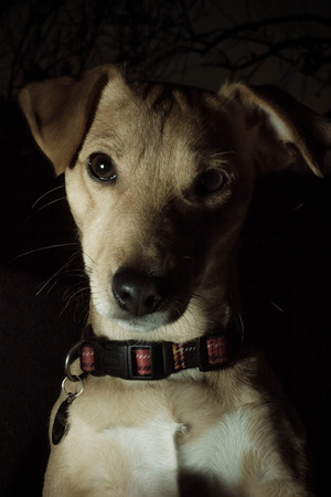 A low key portrait of a dog wearing a collar at night time.