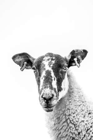 High Key Close Up Of A Sheep's Face, with sky in background