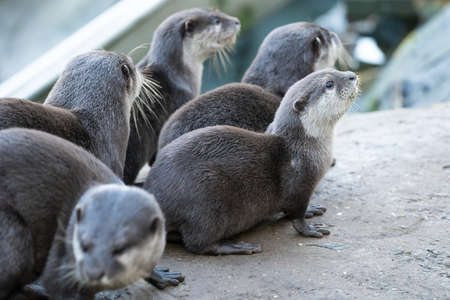 A Group Of Cute Otters At The Zoo, Landscape Orientation