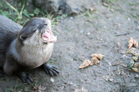 A Close Up Of An Otter With Its Mouth Open, Landscape Orientation