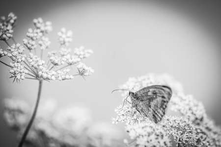 A Buttefly On A Blossoming Plant, Black And White, Macro