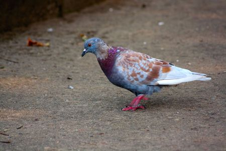 Walking pigeon photo