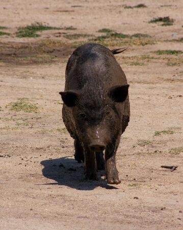 Vietnamese pig in Crimea, Ukraine Stock Photo - 8051000