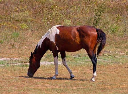 skewbald: A skewbald horse grazes pastures on poor pasture