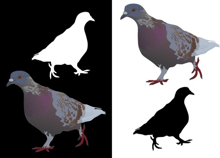 Colored pigeon at the white and black background and black and white silhouettes of pigeon Vector
