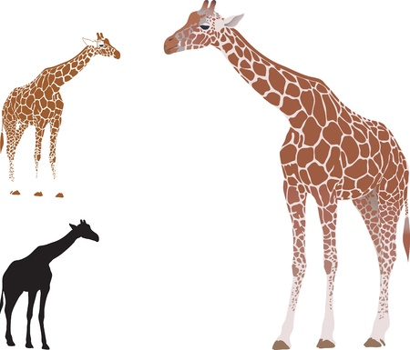 blotchy:  realistic giraffe isolated on white background