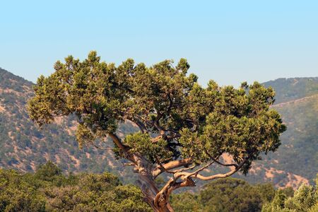 A old juniper in the mountains of Crimea Stock Photo - 11590360