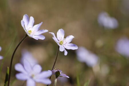 Delicate violet spring flowers against the blur forest background photo