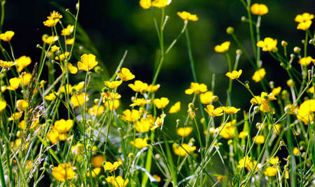 Seamless background with field of yellowcup closeup photo