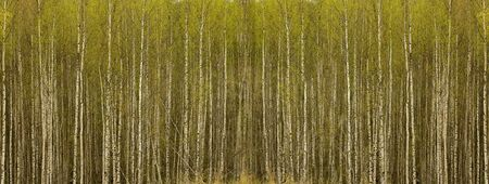 Texture of birch stems, branches and leaves Stock Photo - 13624873