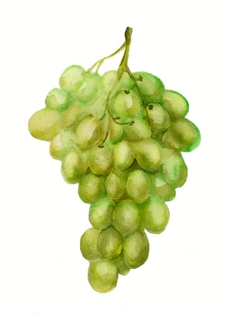 white riesling grape: Watercolor image of bunch of grapes isolated on white background