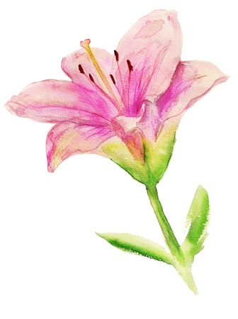 Pink lily with leaves isolated on white background
