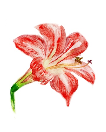 Watercolor image of red flower isolated on white background