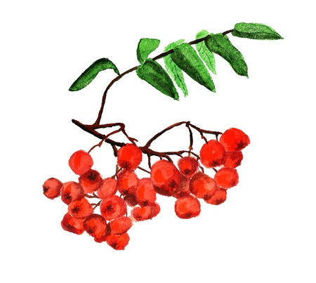 Watercolor image of rowanberries isolated on white background