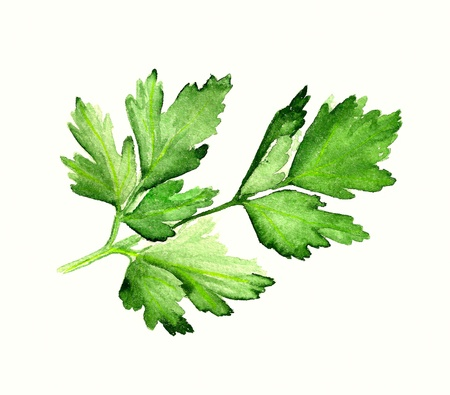 Watercolor image of leaves of parsley on white background