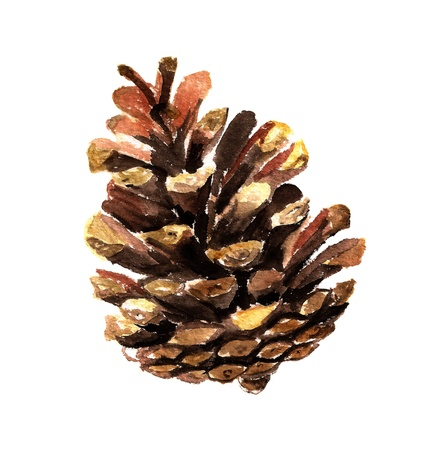 Watercolor image of fir cone on white background