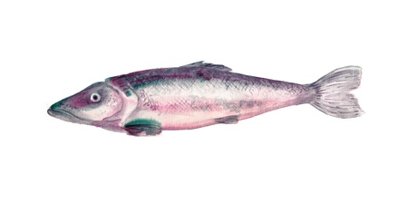 Watercolor image of silver fish on white background