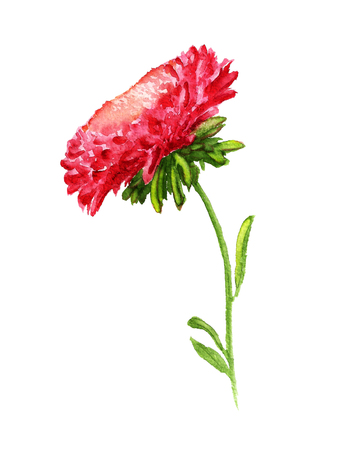 aster: Watercolor image of red aster with stem