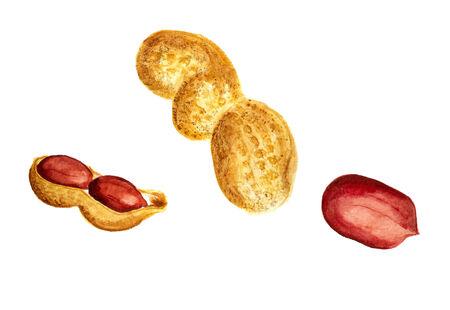 kernel: Watercolor image of peanut in nutshell and kernel of peanut.
