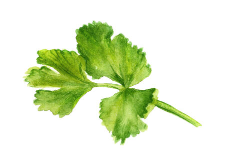 cilantro: Watercolor image of leaf of coriander on white background Stock Photo