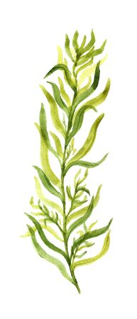 tarragon: Watercolor image of tarragon on white background