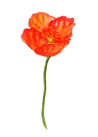 corn poppy: Watercolor image of red poppy flower on white background Stock Photo