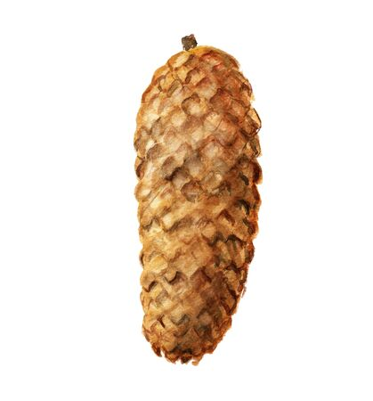fir cone: Watercolor image of fir cone on white background
