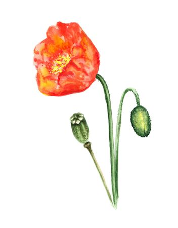 corn poppy: Watercolor image of poppy flower with bud and seeds