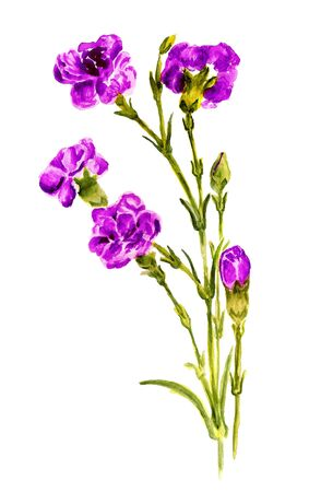 gilliflower: Watercolor image of bunch of purple carnation on white background Stock Photo