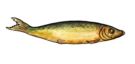 baltic: Watercolor image of smoked baltic herring with black outlines